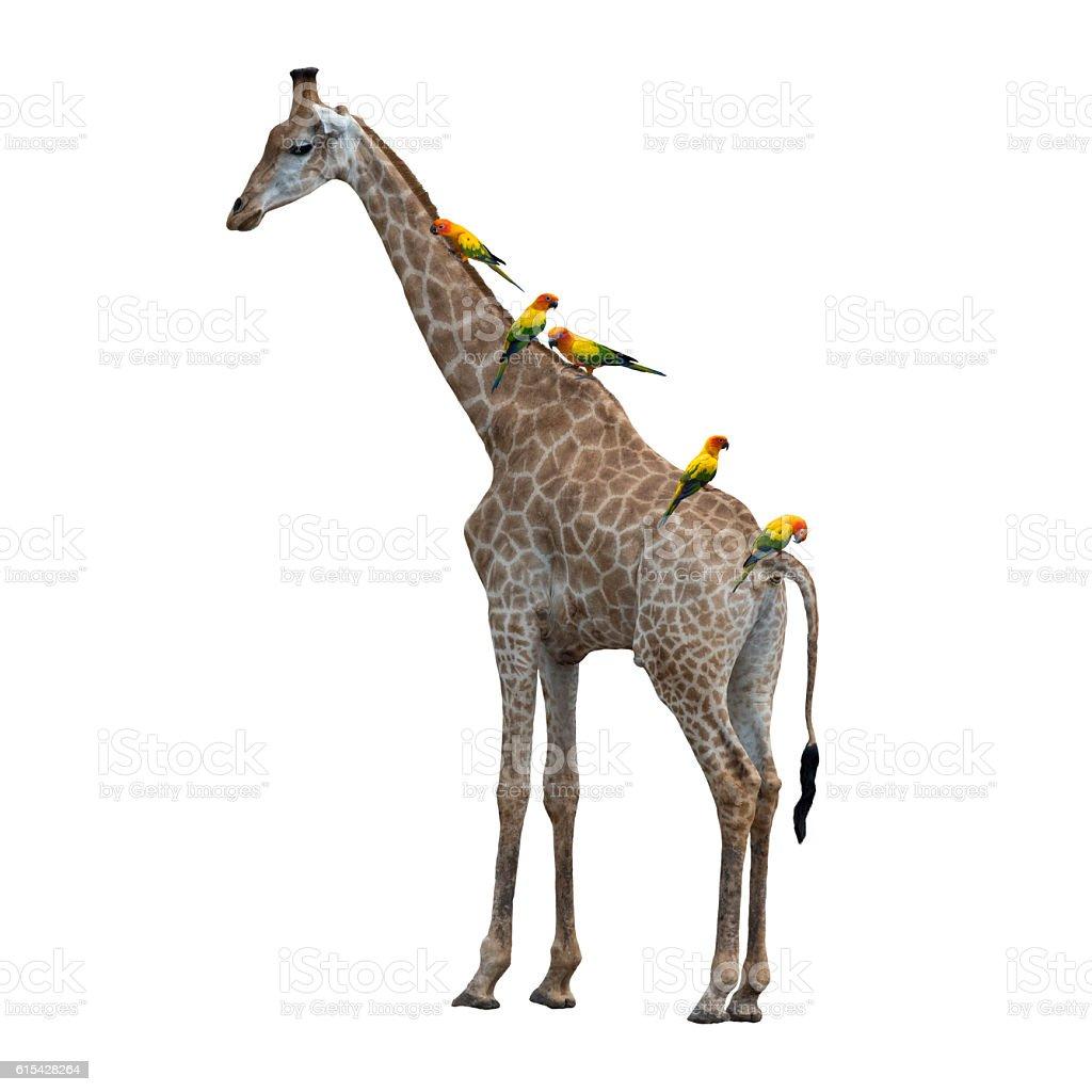 Giraffe and Beautiful Parrot, sun Conure stock photo