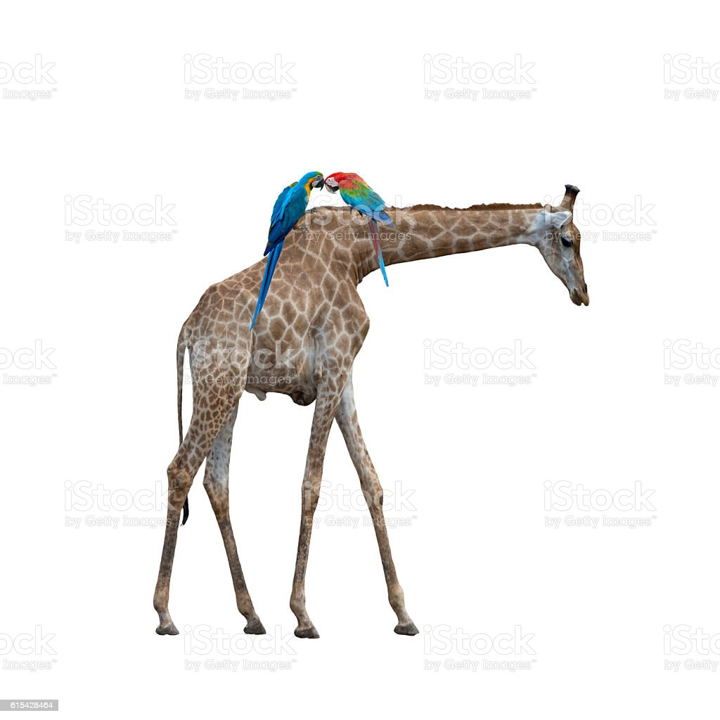 Giraffe and Macaw stock photo