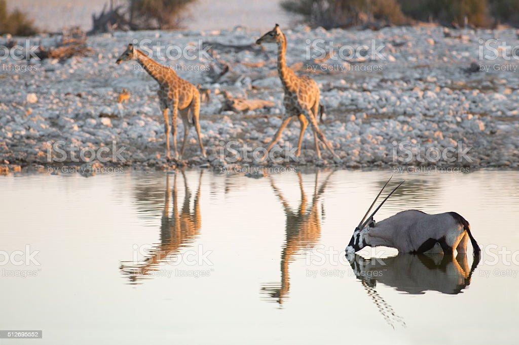 Giraffe and Oryx drinking water stock photo