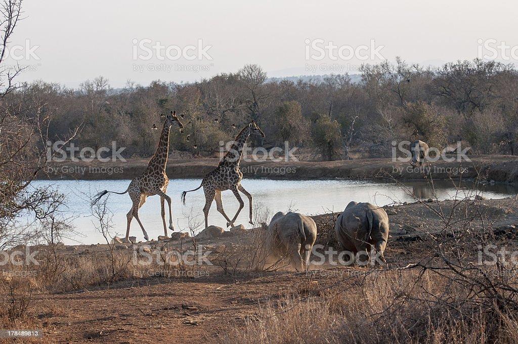 Żyrafy i Nosorożce zbiór zdjęć royalty-free