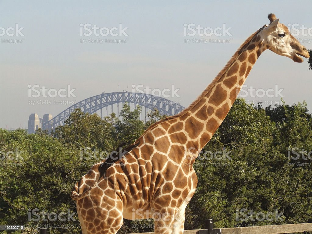 Giraffe and Sydney Bridge stock photo