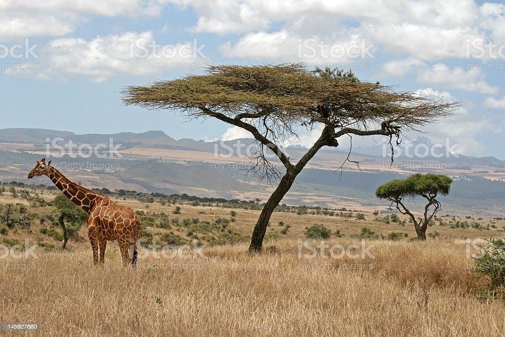 Giraffe and the Sahara royalty-free stock photo