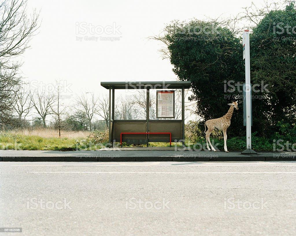Giraffe at a bus stop stock photo