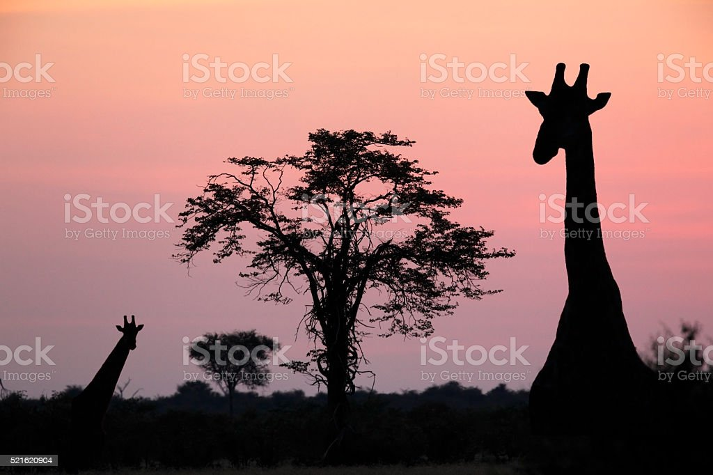 Giraffe at dusk in the Savuti area of Botswana stock photo