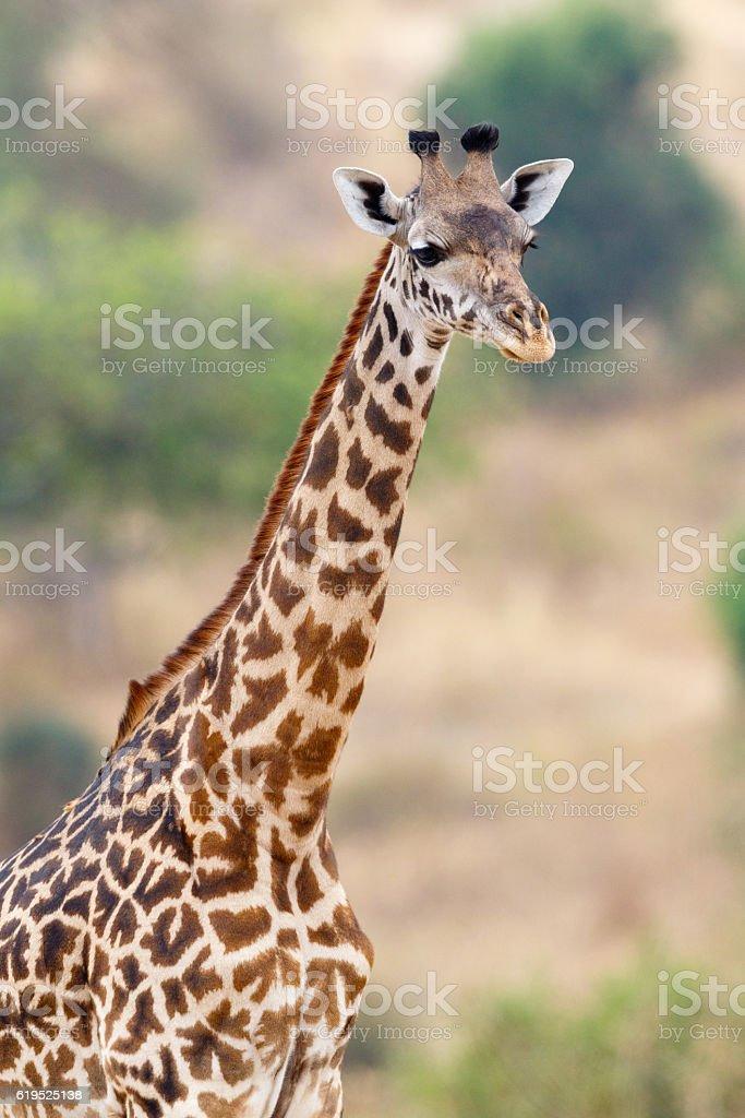Giraffe at Tarangire National Park, Tanzania Africa stock photo