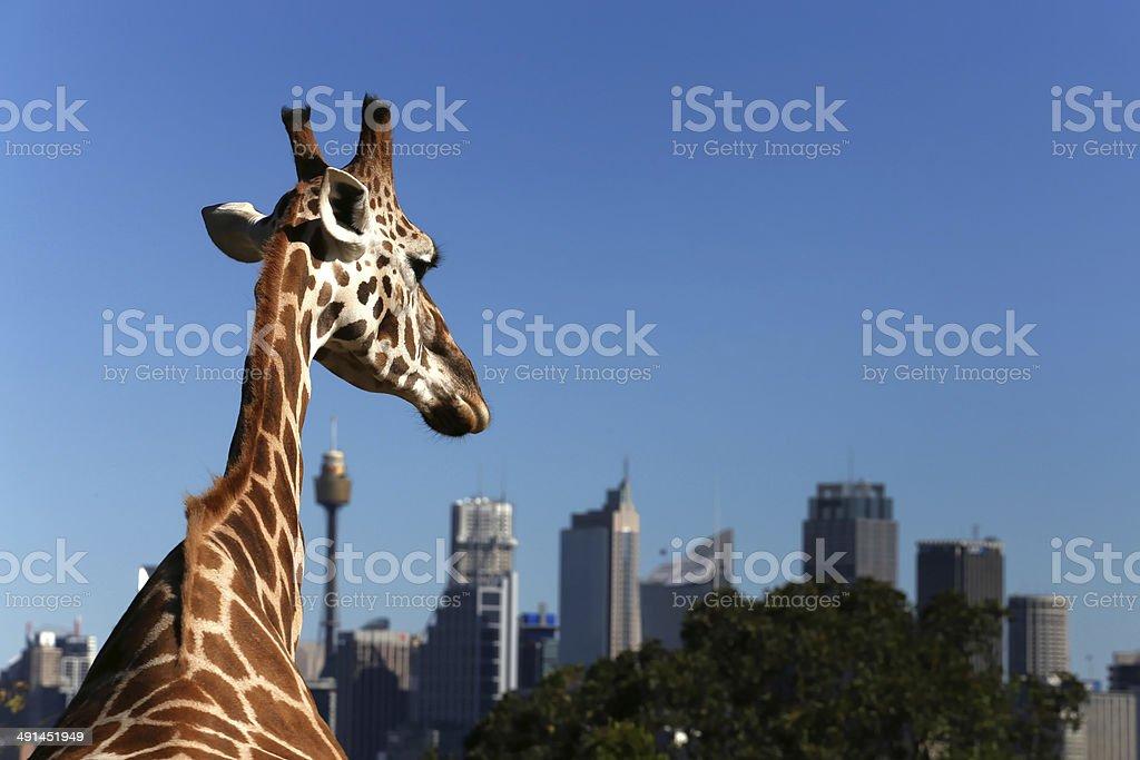Giraffe at Taronga Zoo, Sydney looks towards the city stock photo