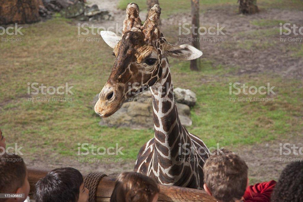Giraffe at the zoo royalty-free stock photo