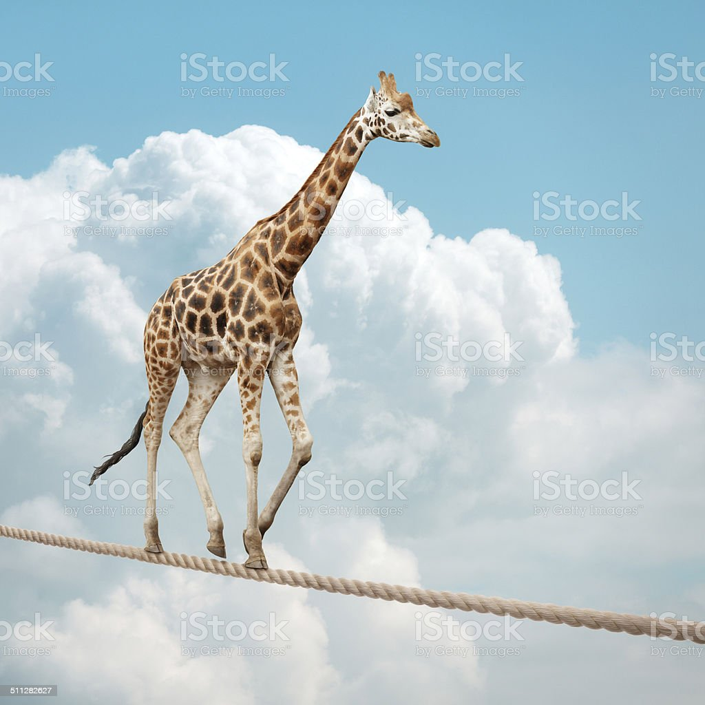 Giraffe balancing on a tightrope stock photo