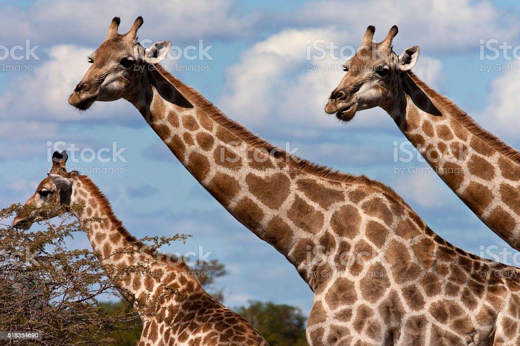 Giraffe - Botswana stock photo