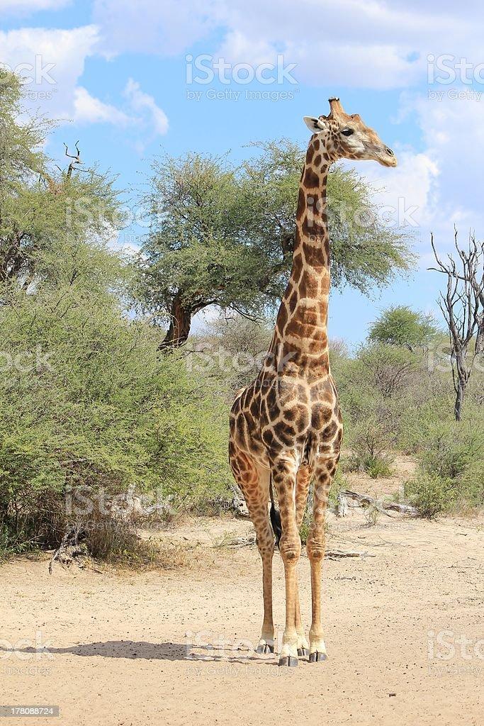 Giraffe Bull Pose of Elegance and Grace stock photo