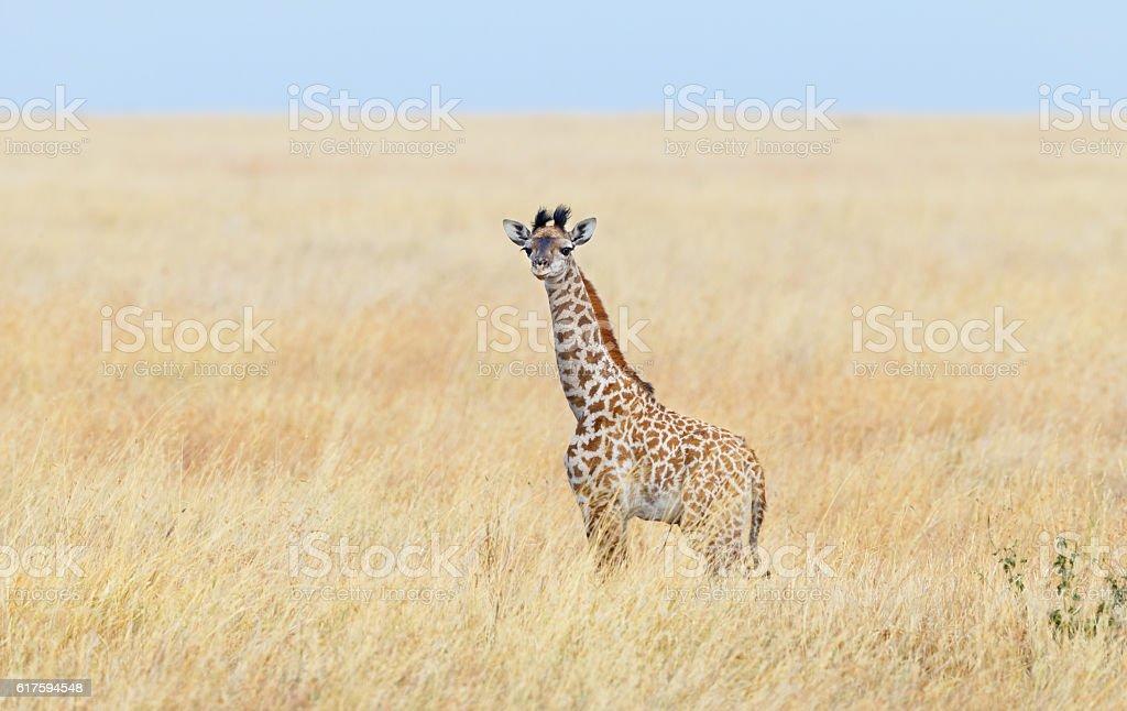 Giraffe Calf in the Serengeti Savanna, Tanzania Africa stock photo