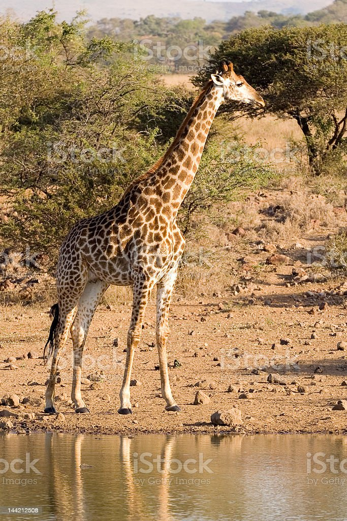 Giraffe checks for danger before drinking - Mkuze stock photo
