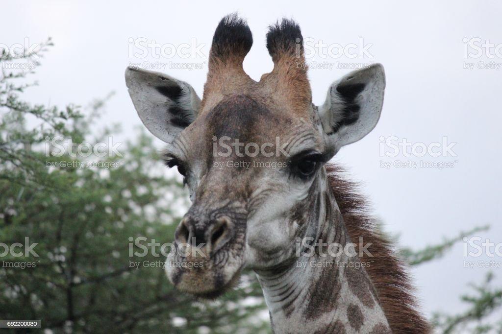 Giraffe close up / Giraf van dichtbij stock photo