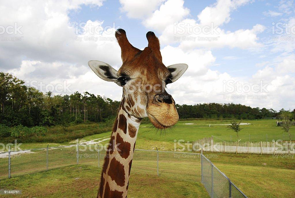Giraffe Close-UP royalty-free stock photo