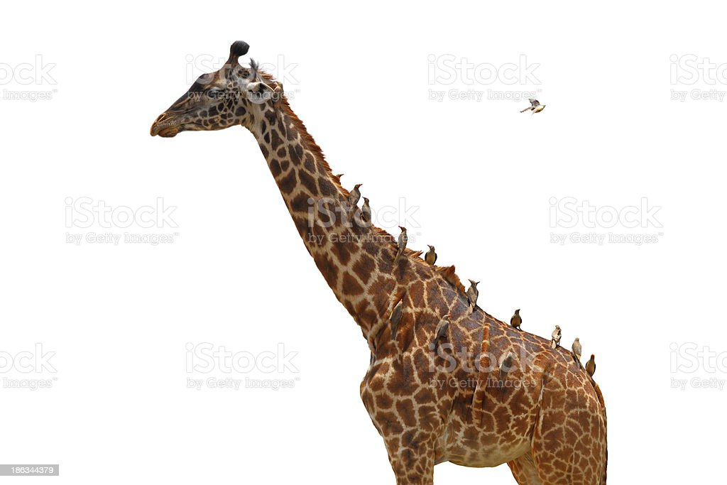 Giraffe coverd with birds - Isolated royalty-free stock photo