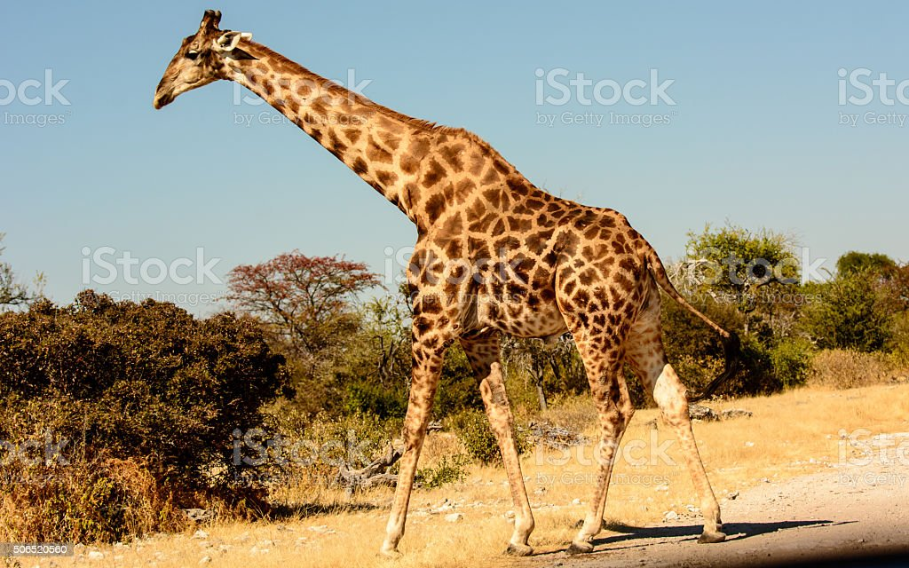 Giraffe crossing the road stock photo