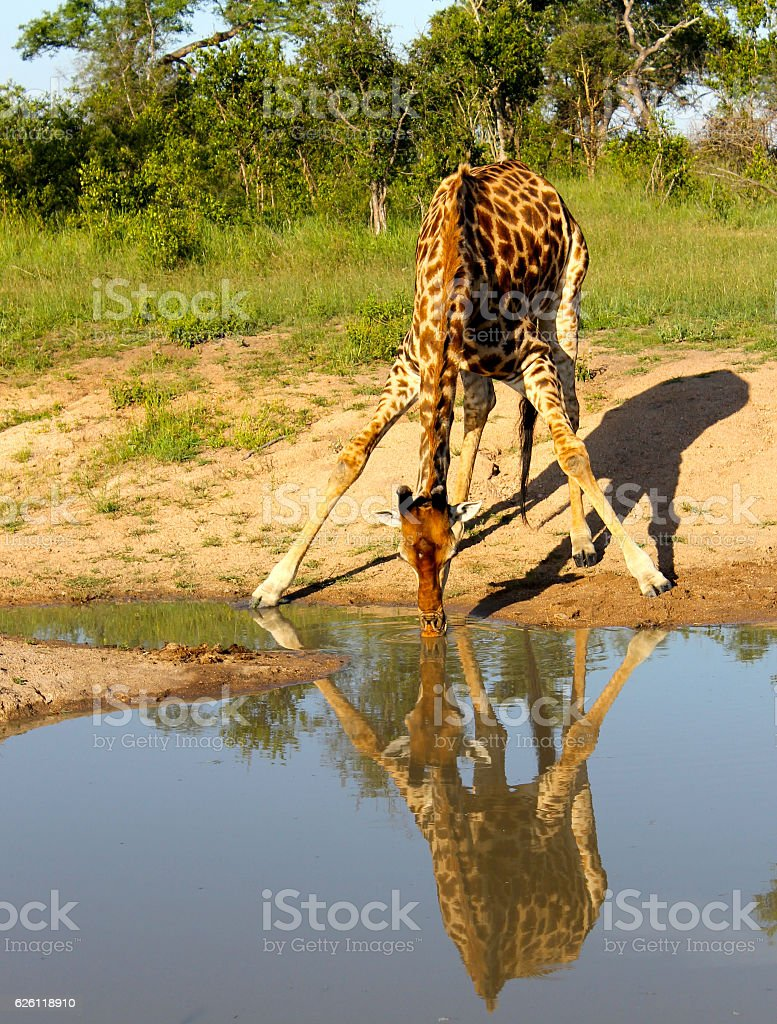 Giraffe Drinking from a Stream stock photo