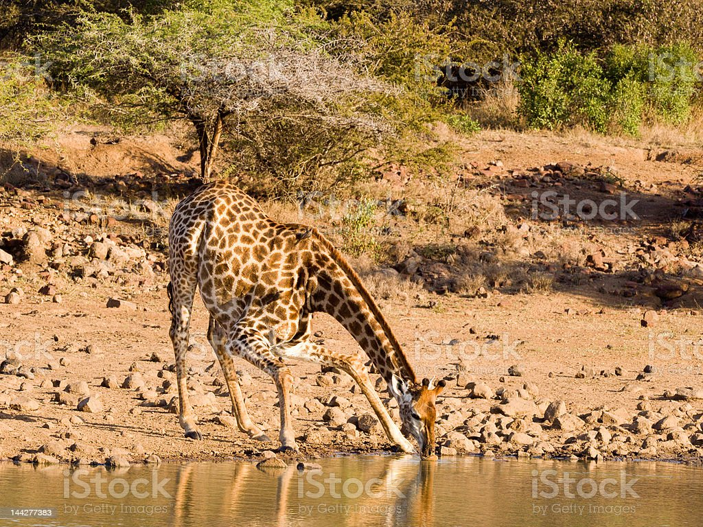 Giraffe drinking - landscape stock photo