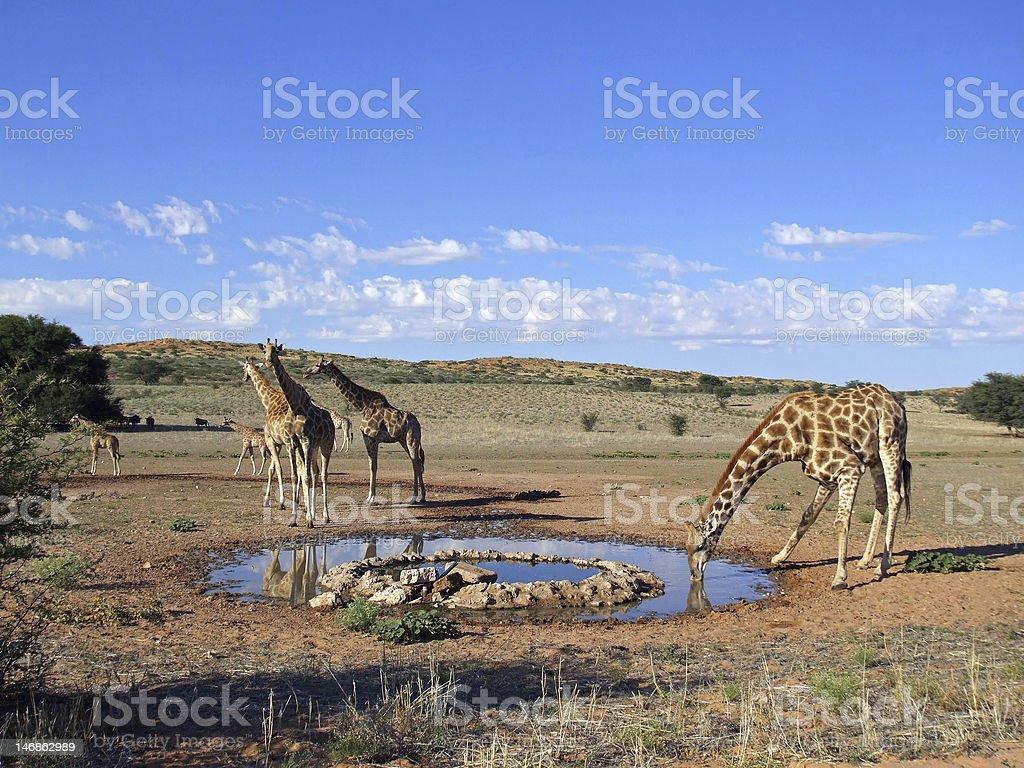Giraffe drinking stock photo