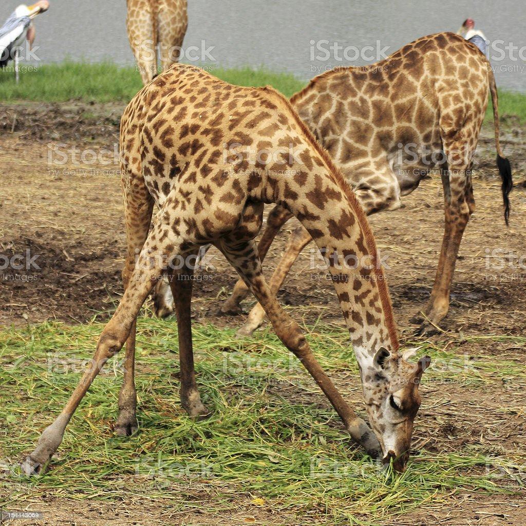 Giraffe eat the food. royalty-free stock photo