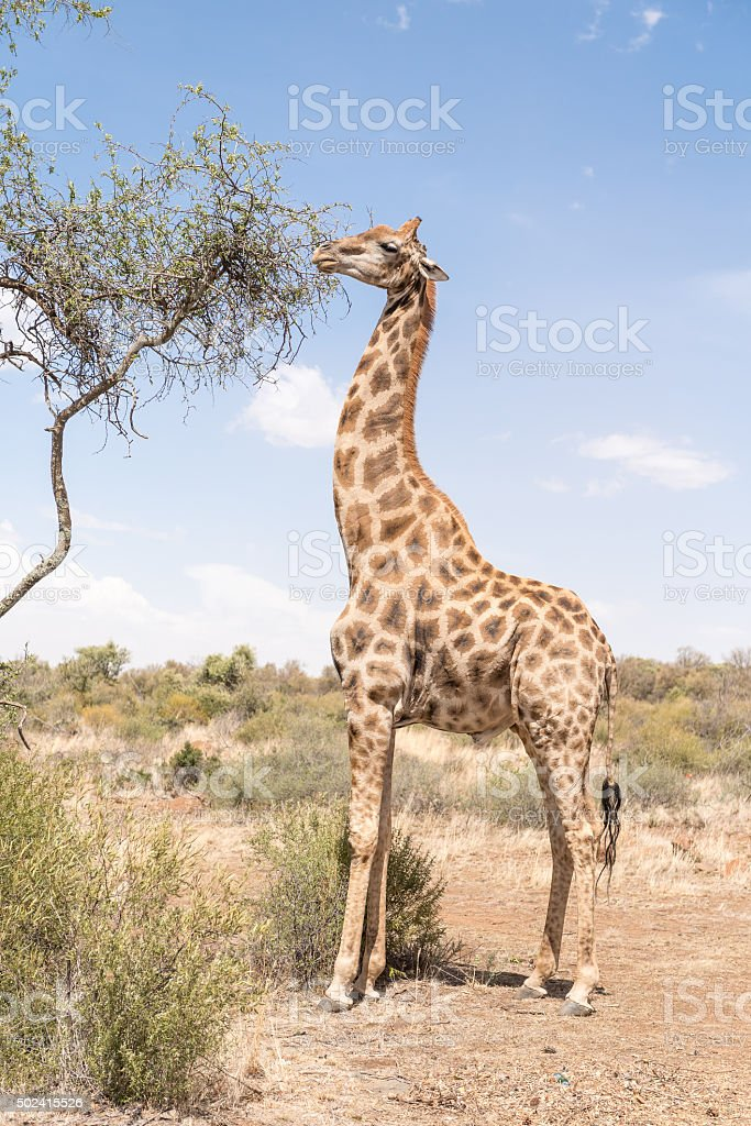 Giraffe eating leafs stock photo