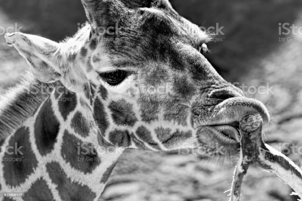 Giraffe eating leaves of the tree - black and white stock photo