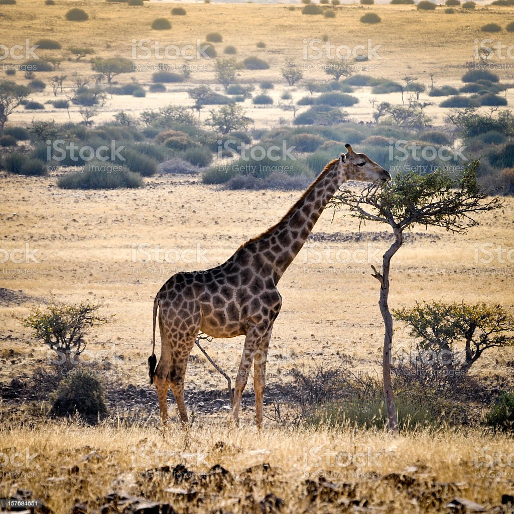 Giraffe eating leaves on a tree in Damaraland,Namibia stock photo