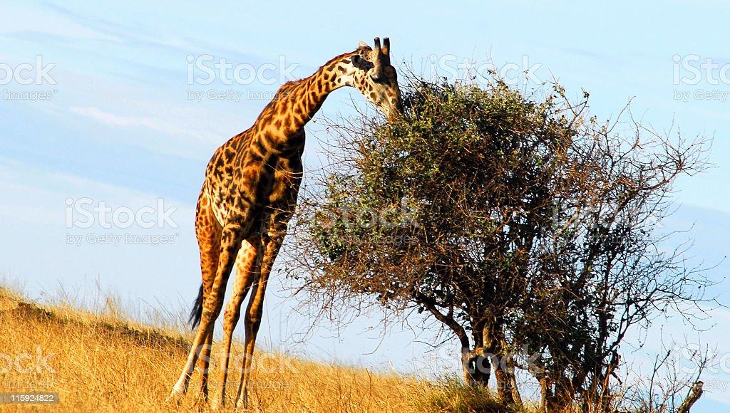 Giraffe eating leaves,Serengeti National Park,Tanzania. royalty-free stock photo