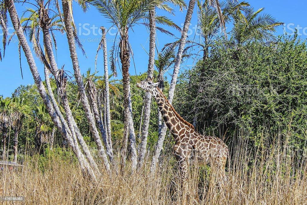 Giraffe Eating royalty-free stock photo