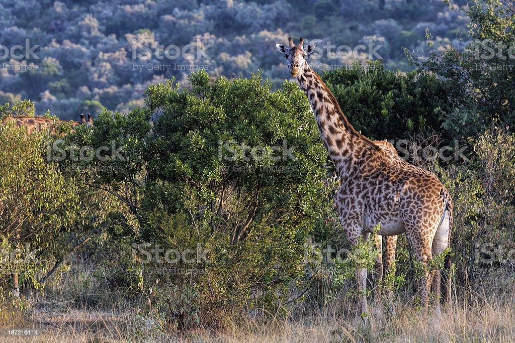 Giraffe: eating Thorn Bush in the Acacias royalty-free stock photo