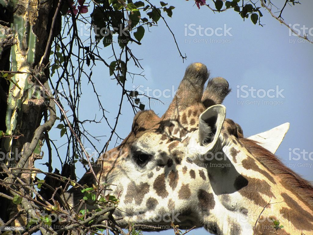Giraffe eats acacia in Masai Mara Kenya, close up stock photo