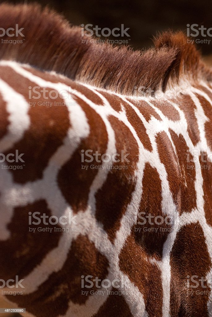 Giraffe Face in Black and White royalty-free stock photo