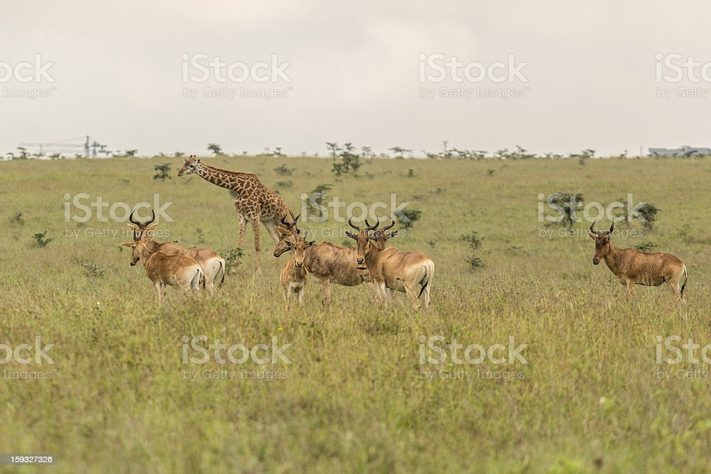 Giraffe family in Kenya royalty-free stock photo