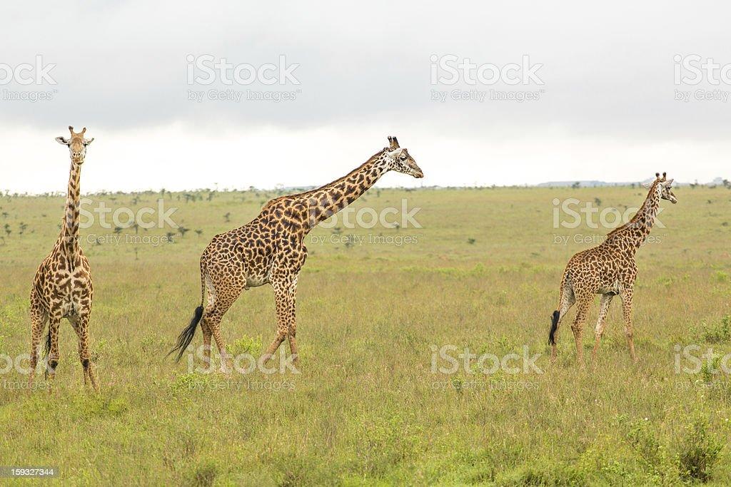 Giraffe family in Kenya royalty-free stock photo