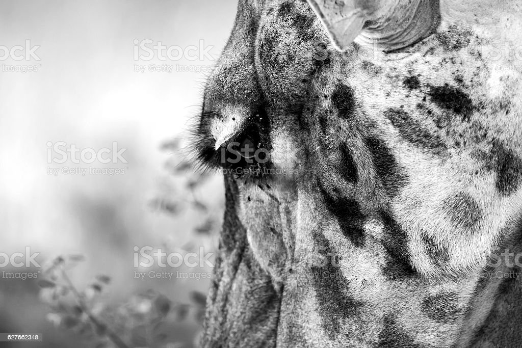 Giraffe: feeding - grazing stock photo