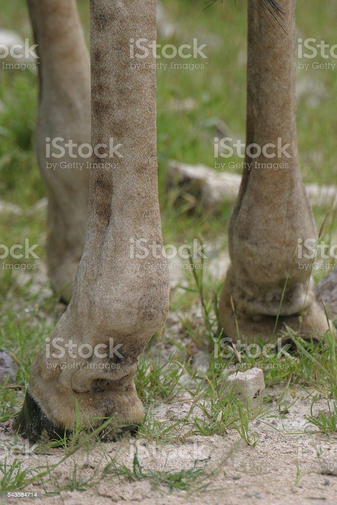 Giraffe Feet Closup stock photo