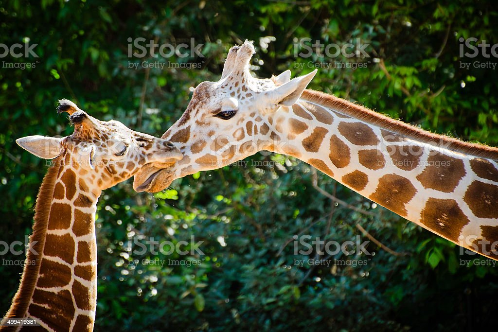 Giraffe female with her young stock photo