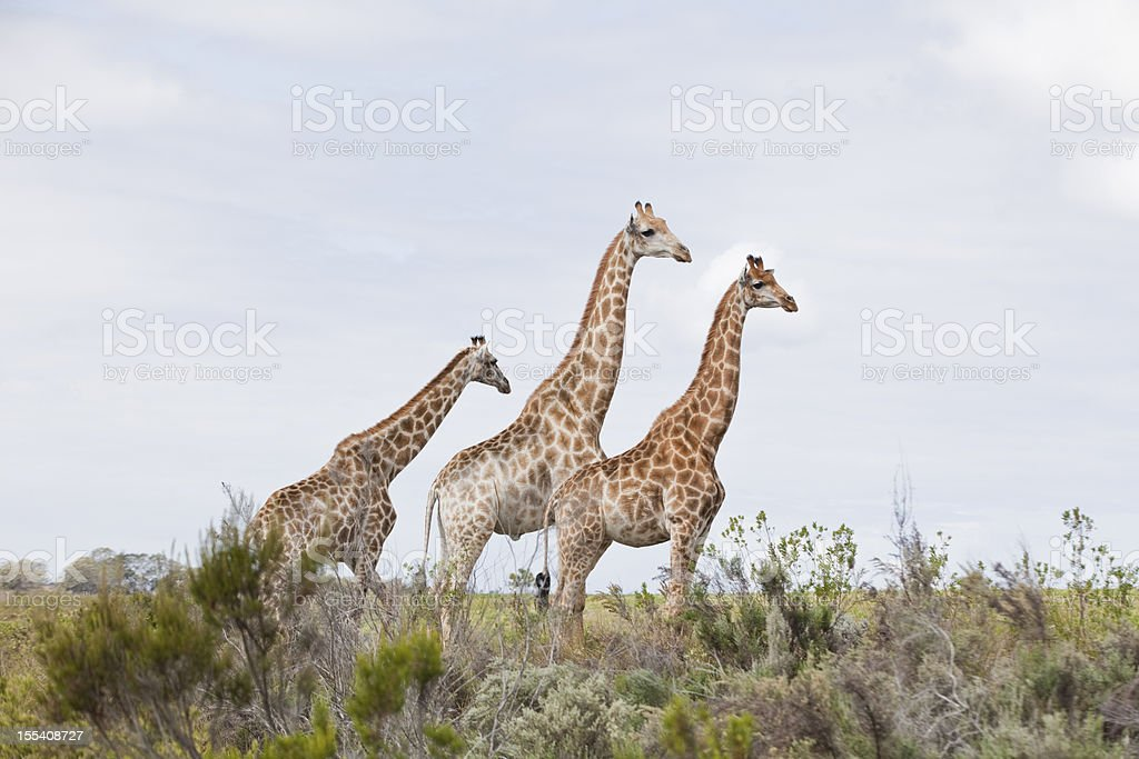 Giraffe friends royalty-free stock photo
