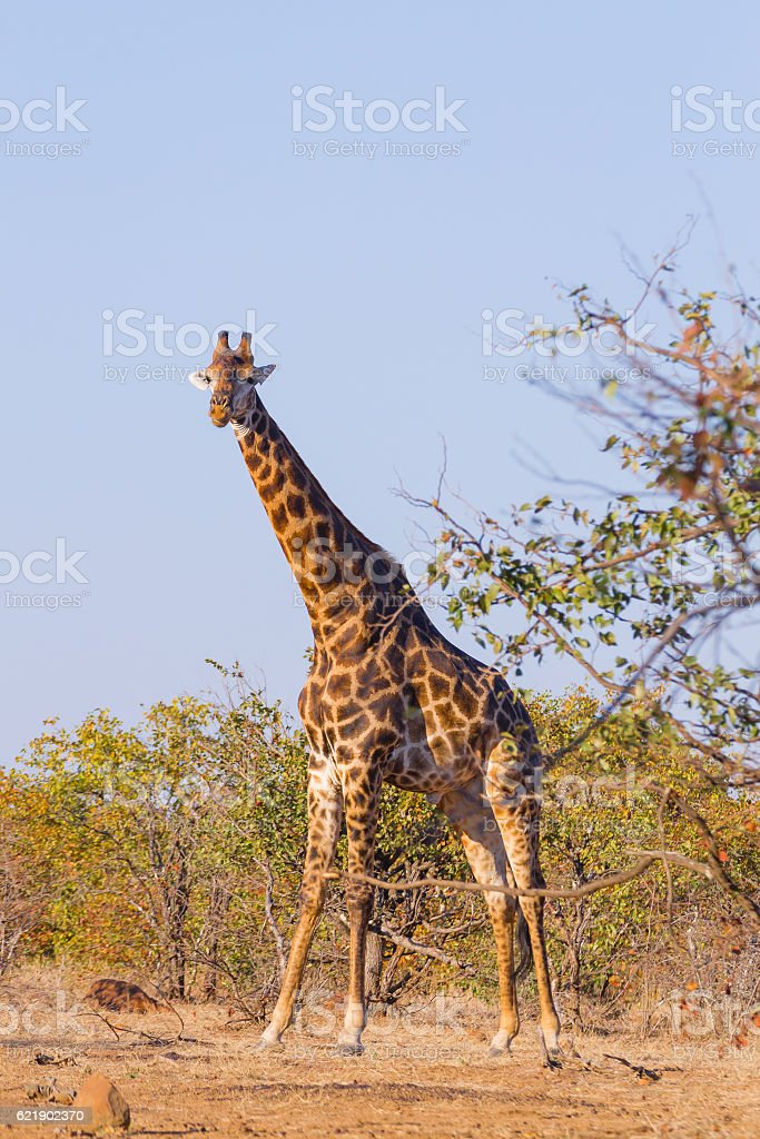 Giraffe from South Africa, Kruger National Park. Africa stock photo