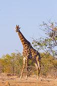 Giraffe from South Africa, Kruger National Park. Africa