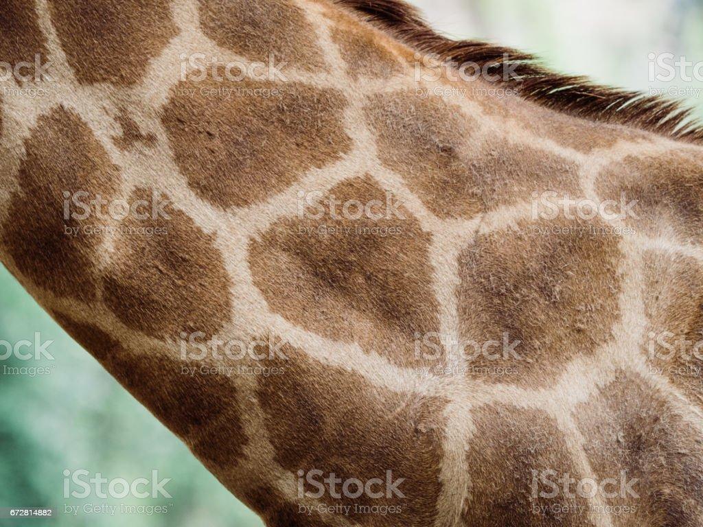 giraffe fur pattern stock photo