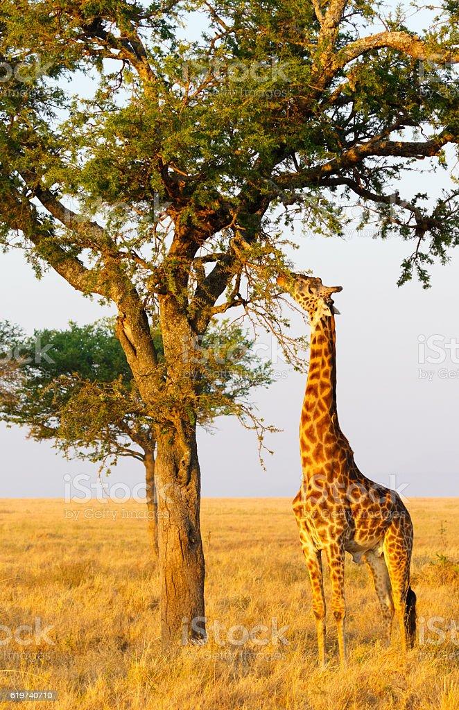 Giraffe Grazing on Acacia Tree, Serengeti National Park, Tanzania Africa stock photo