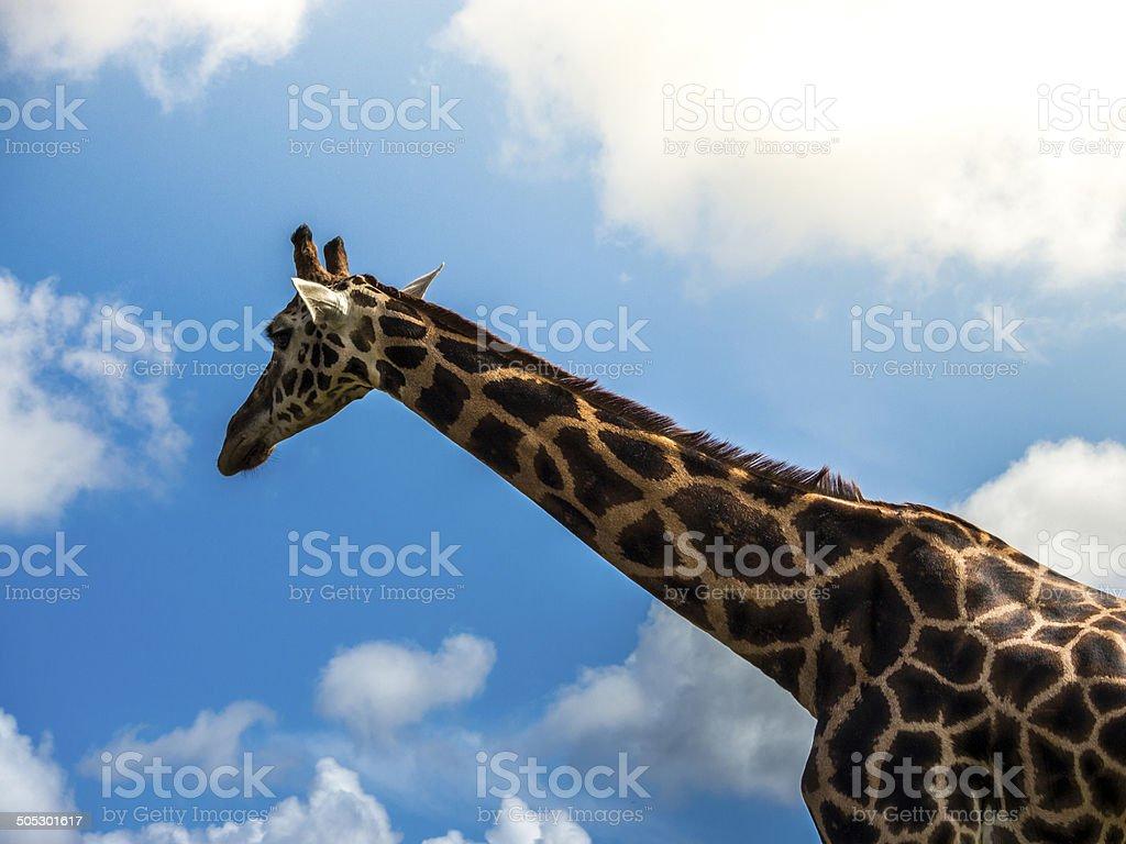 Giraffe head and neck royalty-free stock photo