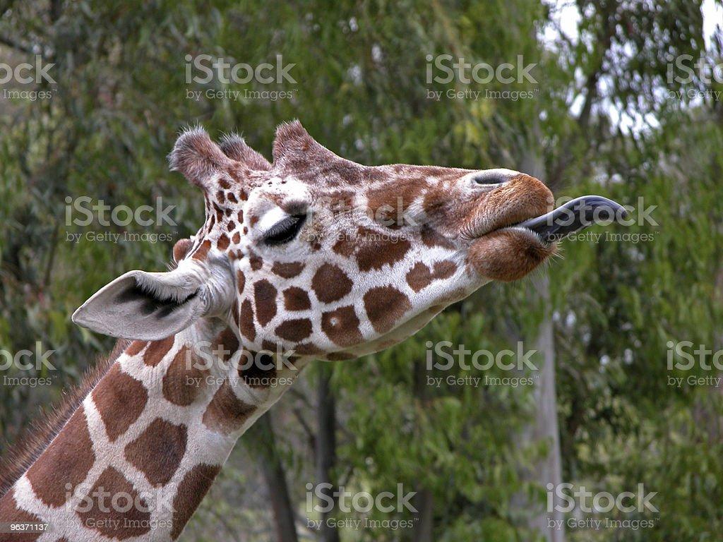 Giraffe head closeup stock photo