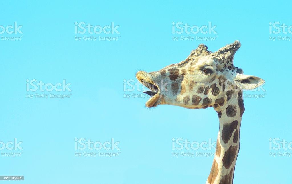 Giraffe head closeup with a funny face stock photo