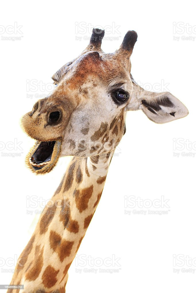 Giraffe head face look funny stock photo