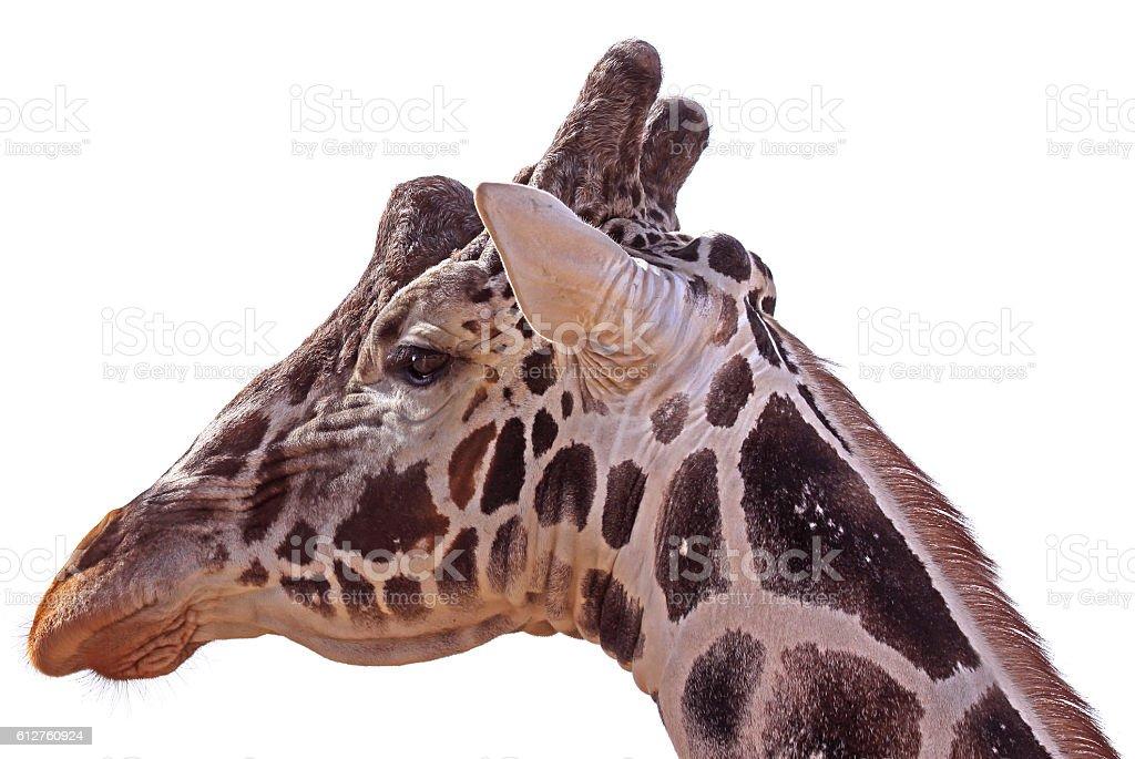 Giraffe head isolate on white stock photo