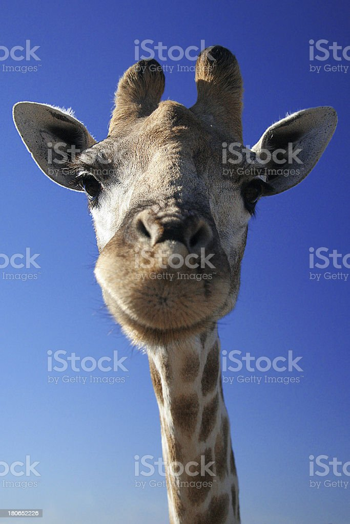Giraffe Head royalty-free stock photo