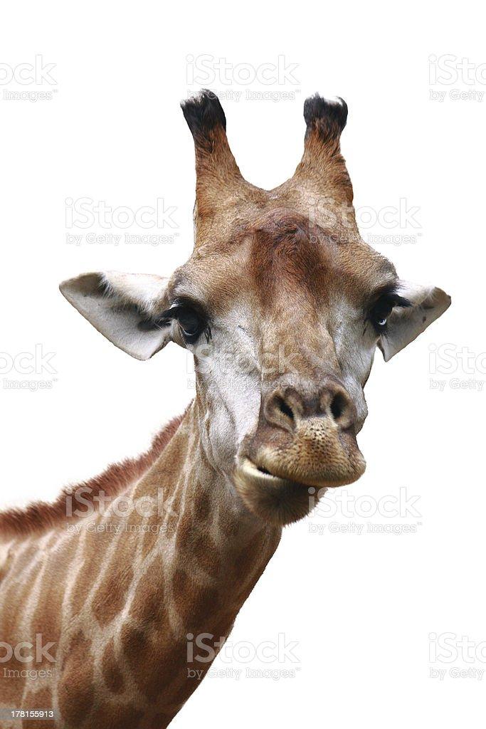 giraffe head shot isolated background royalty-free stock photo
