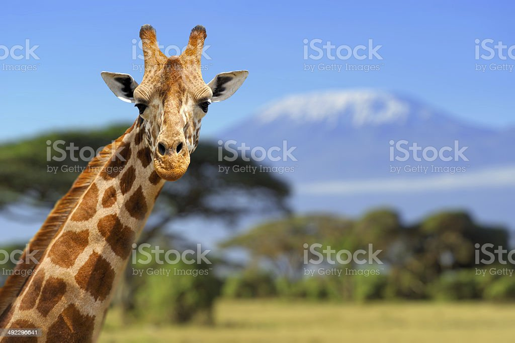 Giraffe in front of Kilimanjaro mountain stock photo